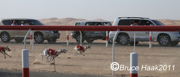 Saluki racing in the UAE Falconry Festival
