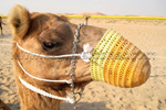 Camel in UAE Falconry Festival