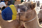 Camel at desert camp Falconry Festival
