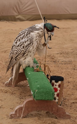 Falconry Festival Arab gyr falcon