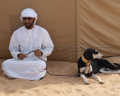 saluki in UAE Falconry Festival