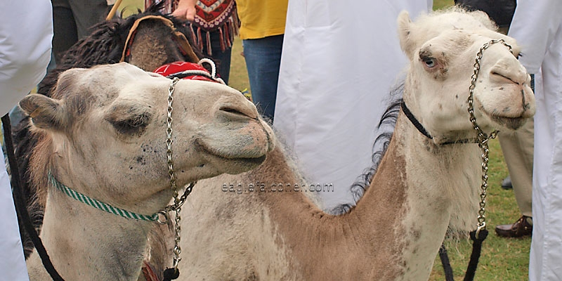 Arab Camels,  Festival of Falconry