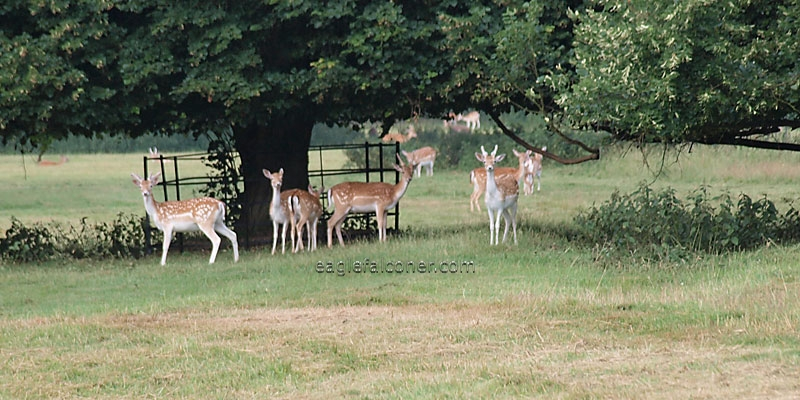 Deer in the park at Englefield Falconry Festival