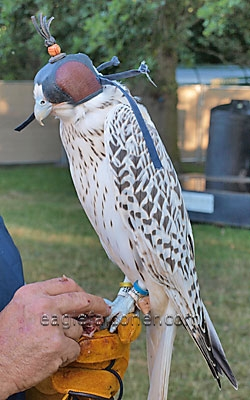 Gyr Falcon at the Festival of Falconry