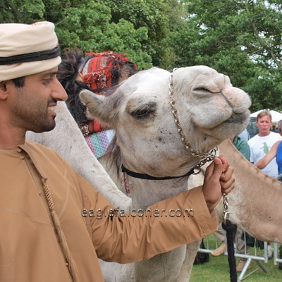 Arab Camel at the  Festival of Falconry